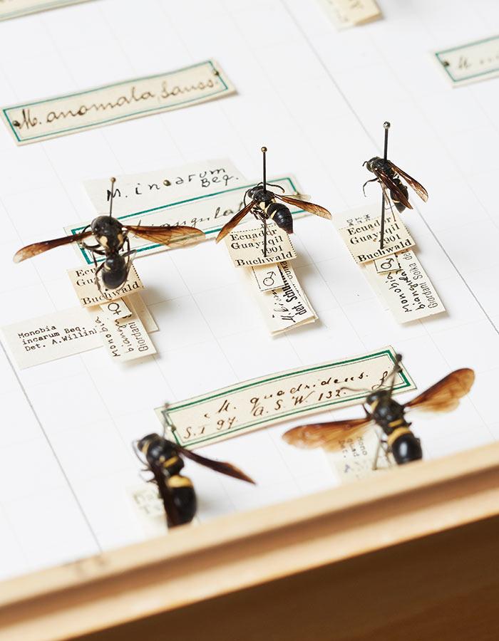 ETH_Insekten_Sammlung_Bienen