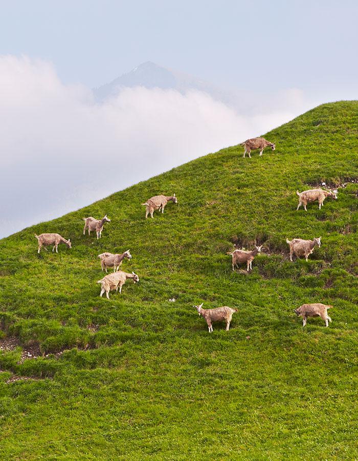 goat farm in switzerland